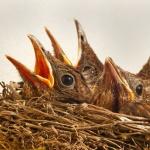Vogelnestje met hongerig vogelgebroed
